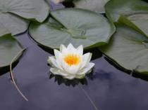 white-lotus-flowers-hd-wallpapers-free-download
