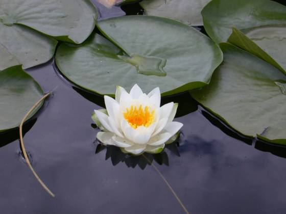 white-lotus-flowers-hd-wallpapers-free-download